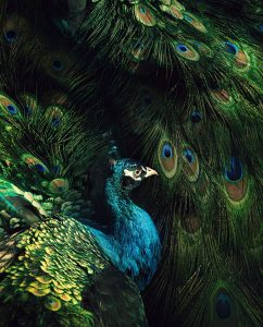 Abstract image with peacock among feathers