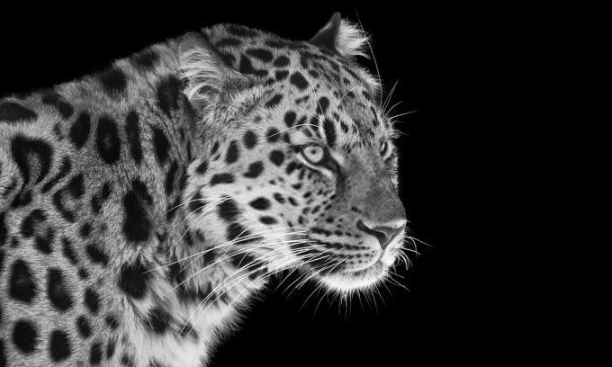 Plexiglas schilderij - Leopard in black and white with blue eyes