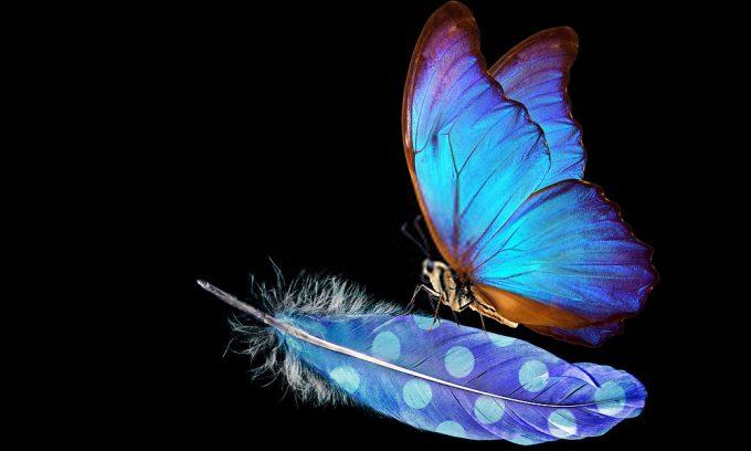 Plexiglas schilderij - Morpho blue beautiful butterfly