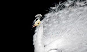 Plexiglas schilderij - White peacock on a plain black background