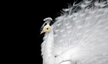 Plexiglas schilderij - White peacock on a plain black background