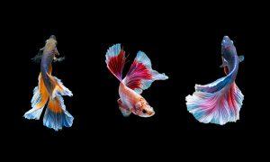 Plexiglas schilderij - beautiful of siam betta fish