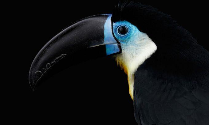 Plexiglas schilderij - Channel-billed Toucan