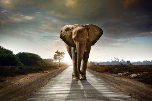 Single elephant walking on the road