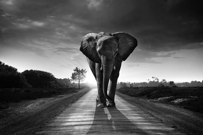 Single elephant walking