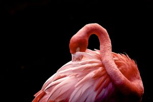 Flamingo at Flamingo Gardens Wildlife