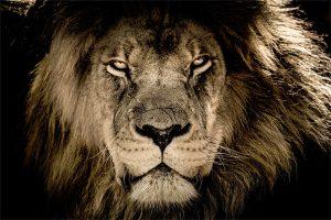 close up van een leeuw
