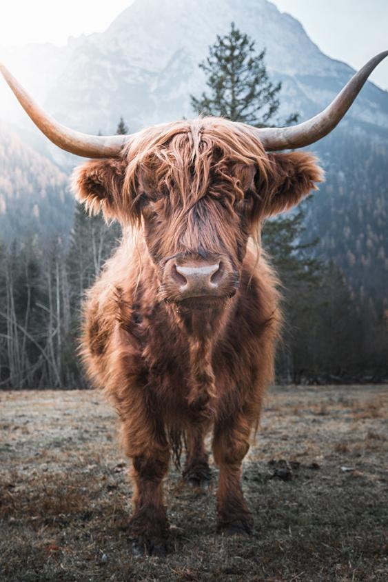 horned Highland Cattle