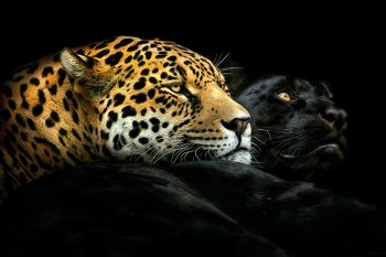 wild leopards
