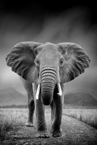 olifant donkere achtergrond