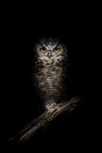 owl in the night