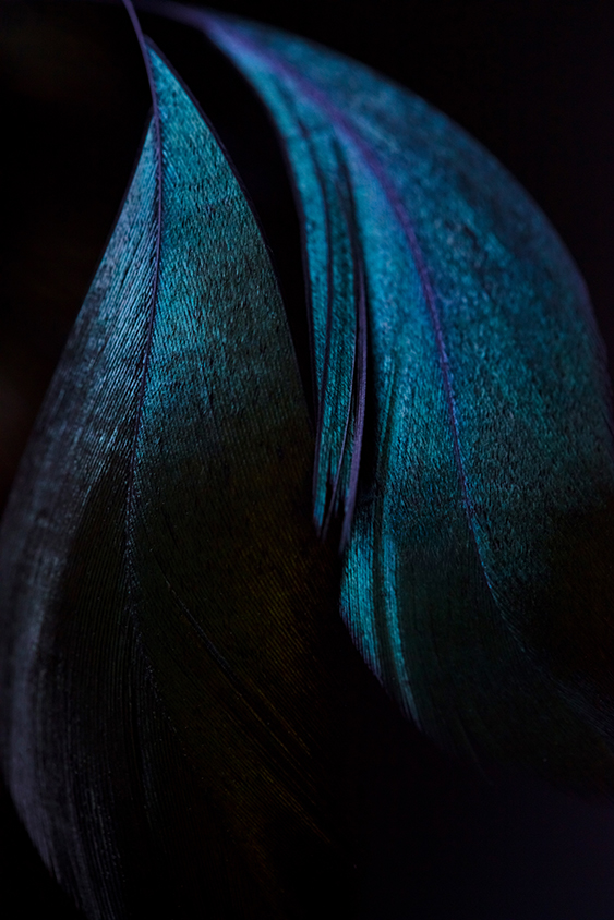 feathers of a blue peacock