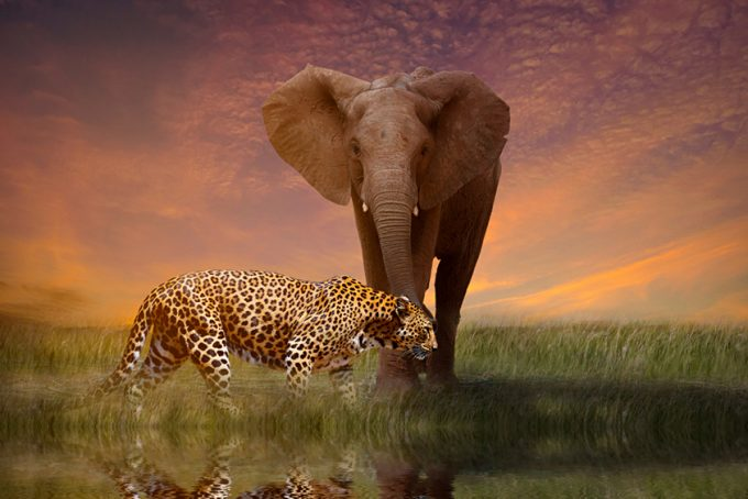 elephant and leopard