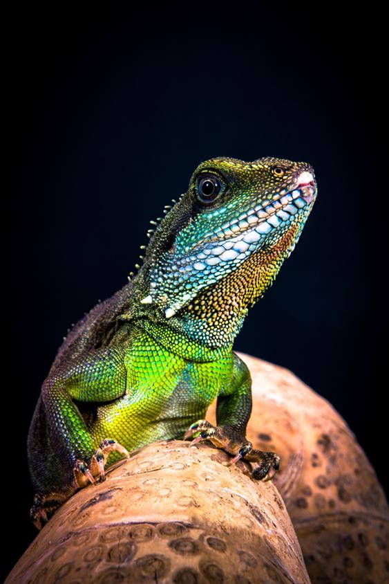 Bearded Dragon Exotic Lizard