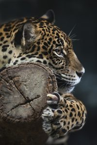 Portrait of leopard