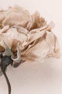 dry flower rose close up