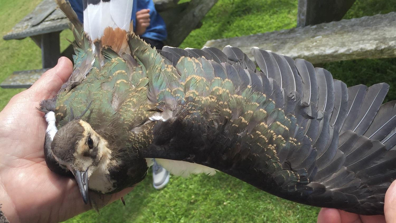En stor fågel ska just mätas och vägas, här syns den vackra vingen