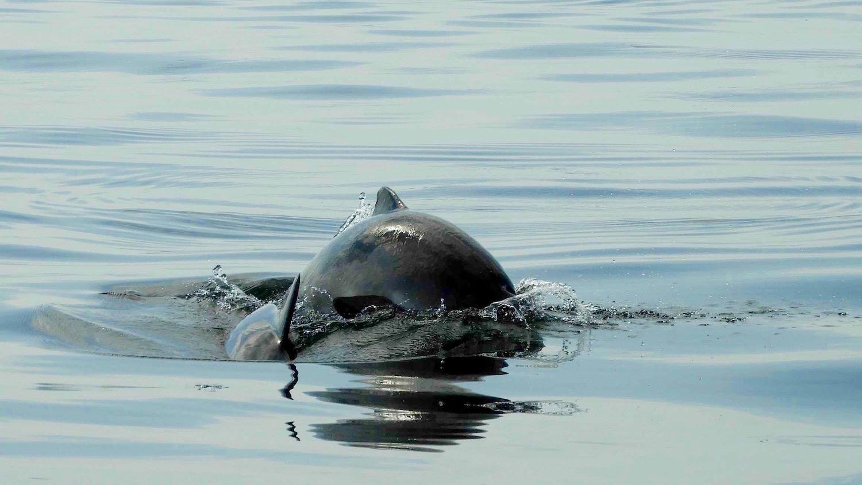 Tumlare är vanligt i Kattegatt och de kommer nära båten ibland
