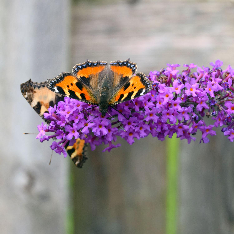 En lilla sommerfuglebusk med to sommerfugle til bords