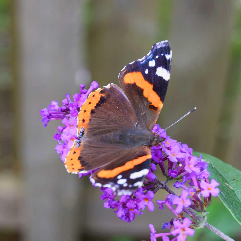 Sommerfuglebusk i Apothekerhaven - med sommerfugl