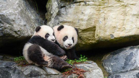 Babypanda's Bao Di en Bao Mei zetten stapje in de wijde wereld