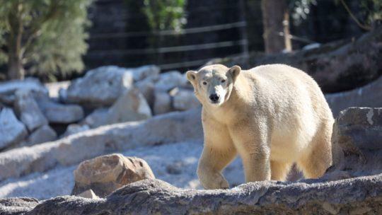 Pairi Daiza verwelkomt ijsberen in nieuw verblijf