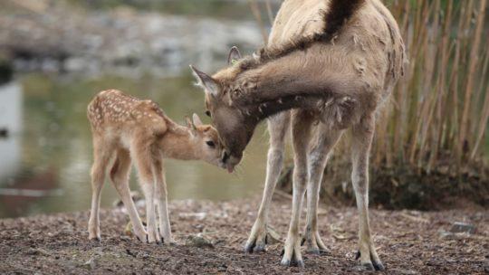 In het wild uitgestorven hert geboren in Pairi Daiza