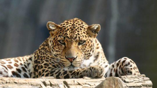 Eindelijk! De dieren in Pairi Daiza mogen opnieuw bezoek ontvangen