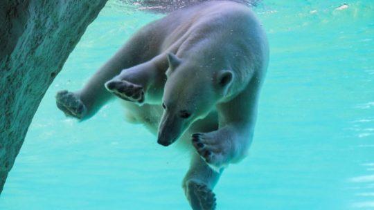 Op wereldreis in eigen land? Pairi Daiza opent 50 nieuwe kamers tussen ijsberen en walrussen