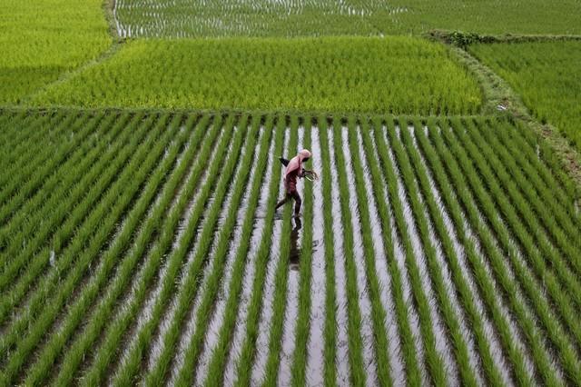 اعتراض یک شالیکار به واردات بی رویه برنج: همین قشر زحمتکش با مشت های خشمگین شان دمار از روزگار شما در می آورند!