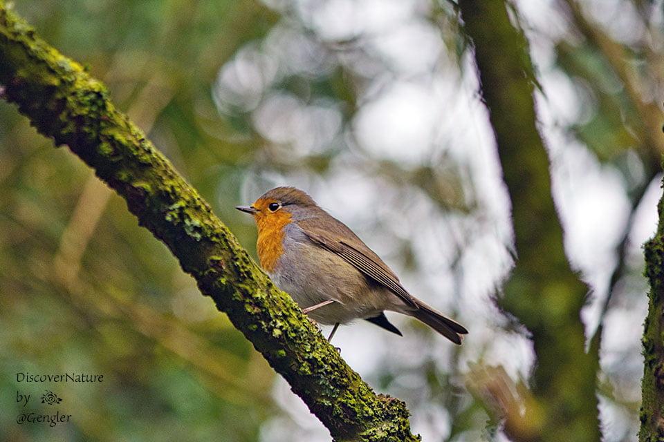 Roodborstje / Robin