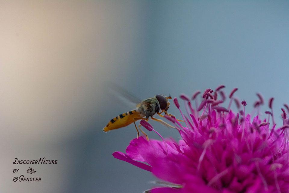 Zweefvlieg (Syrphidae).
