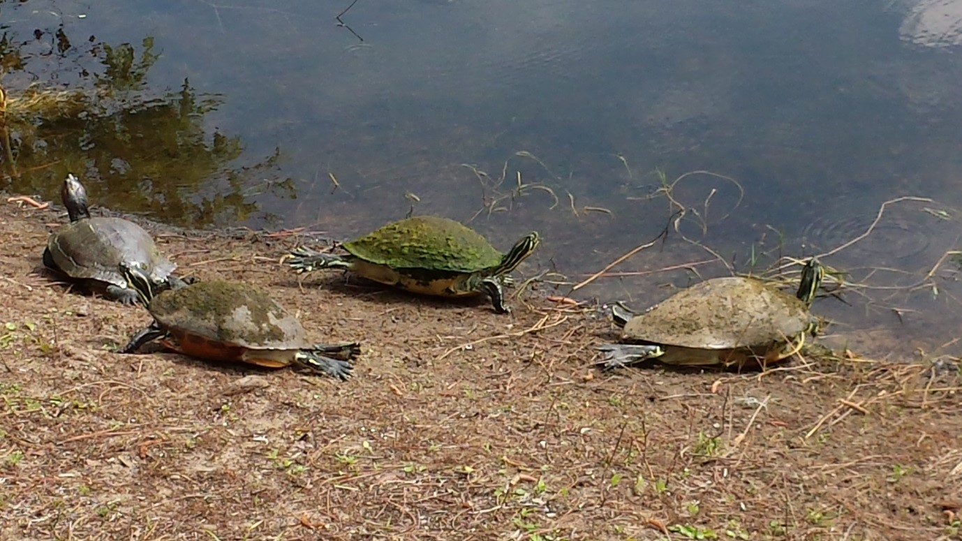 Turtles at Bahama Bay Resort & Spa Orlando Florida