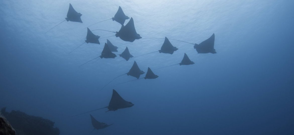 Eagle rays in Mauritius are often seen in our waters