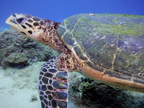 karett schildkröte in Mauritius, meeresschildkröte