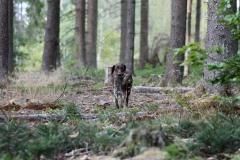 Kaninchenschleppe im Wald
