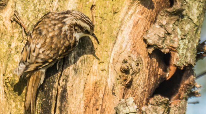 Forårets fugle i Valborup Skov. (1)