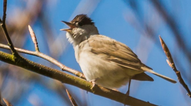 Forårets fugle i Valborup Skov.(2)