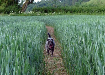 DOG JOGS - dog crop field