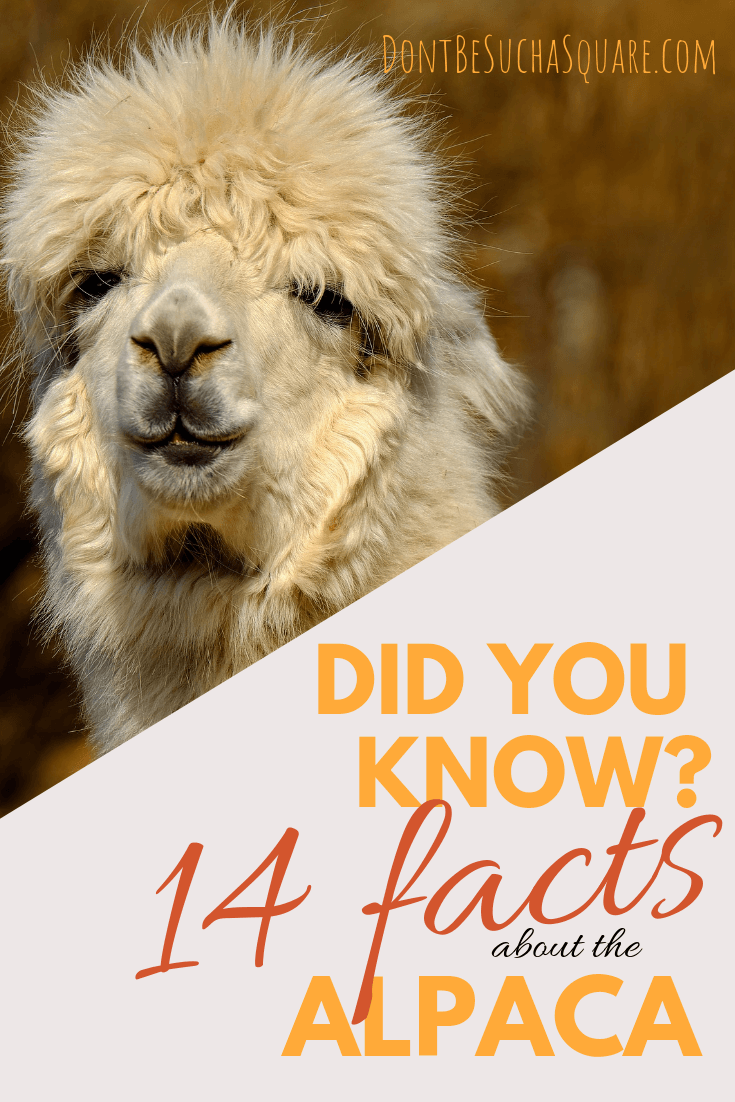Did you know? 14 facts about the alpaca and the alpaca yarn – Learn more about alpaca yarn at DontBeSuchaSquare.com #yarn #alpacayarn #knitting