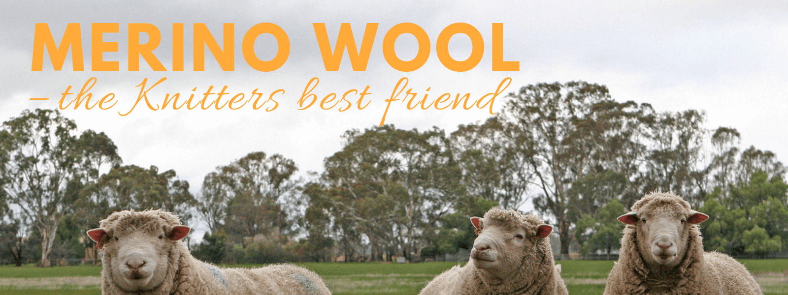 Merino wool - this article answers all your questions like, why merino softer than other wool? Why is it so warm? Can it really breathe? And how do the merino sheep look like?