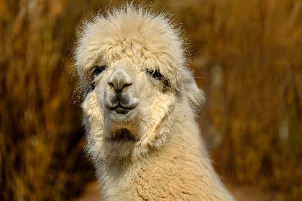 Don't Be Such a Square | 14 facts about alpacas you didn't know! All about the alpaca fiber, and all about the alpaca it self | Wool | Fleece | Knitting Yarn