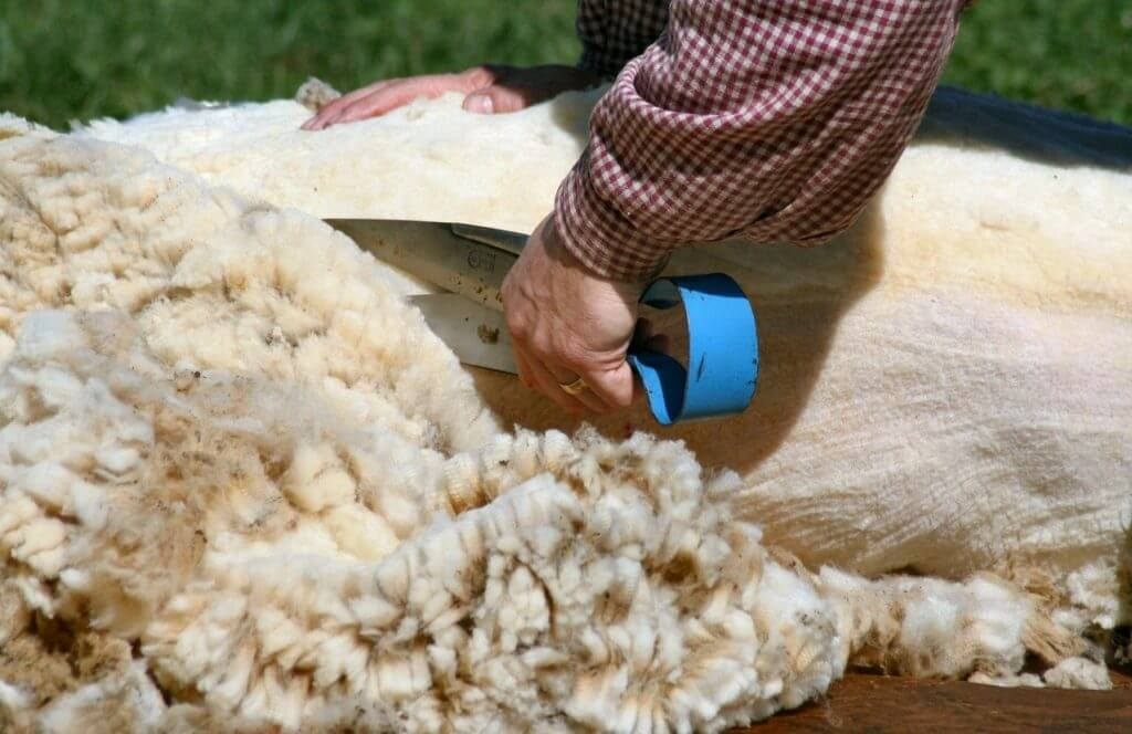 Merino wool - this article answers all your questions like, why merino softer than other wool? Why is it so warm? Can it really breath? And how do the merino sheep look like?