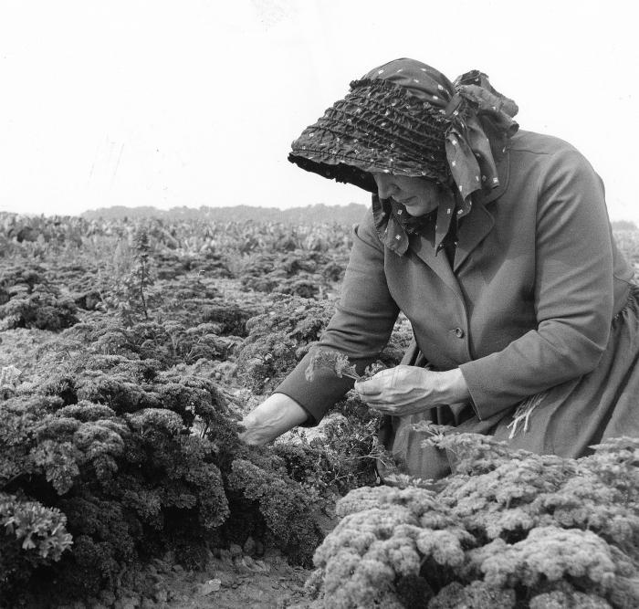 """Høst af persille. Kvinden er iført en """"helgolænder"""", som er et særligt hovedtøj, der skærmer for solen, når man arbejder i marken. Foto af Dirch Jansen fra 1970'erne."""