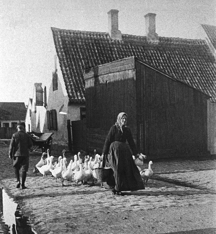 Niel Claes Jensen Bødkers kommer gående med sin gåseflok. Foto omkring 1910.