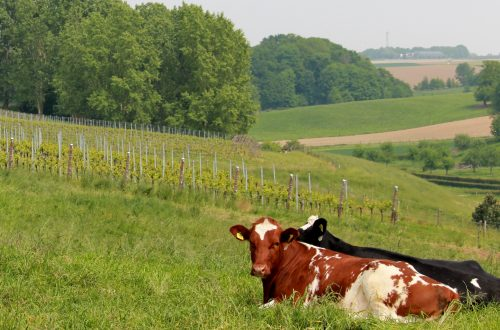 Wijngaardsberg