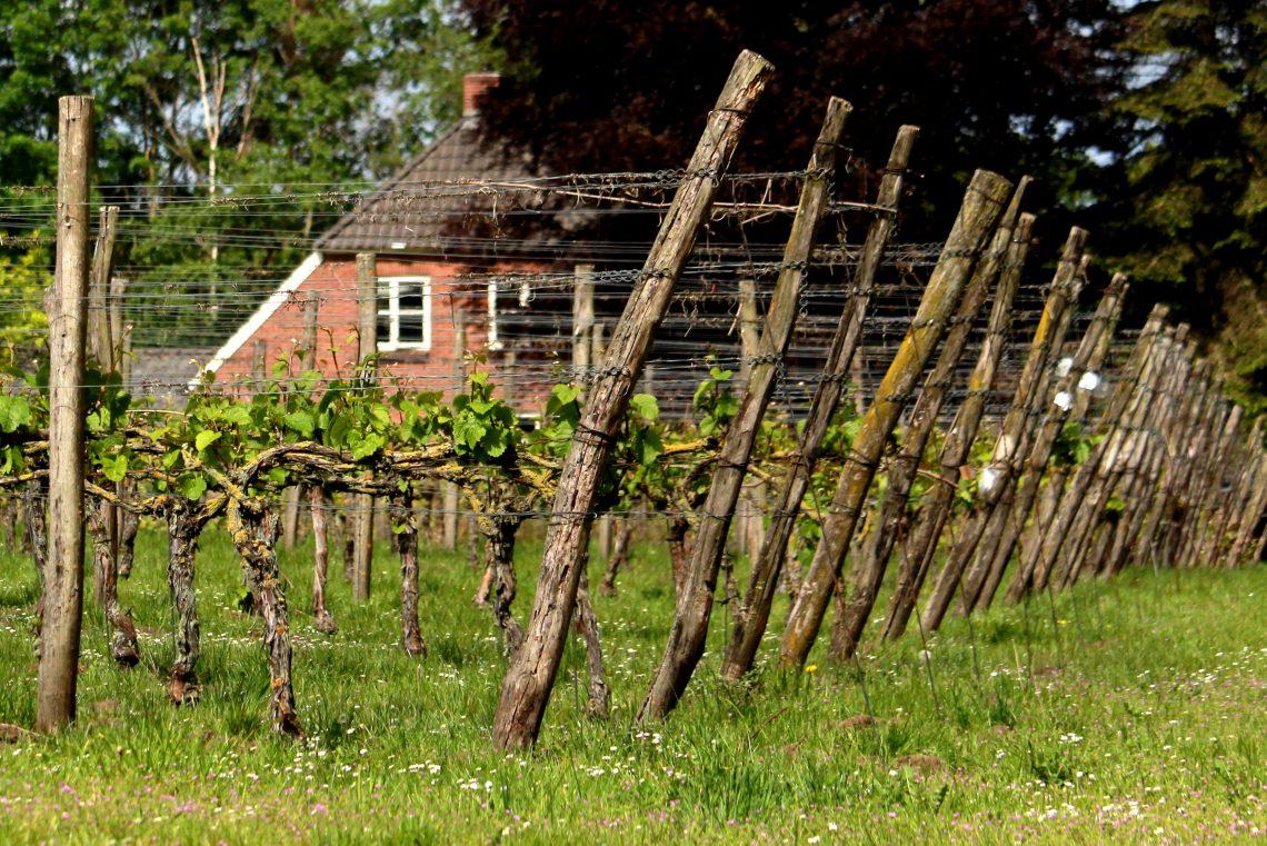 Achterhoekse wijnbouwers Hennepe DutchWine4You Nederlandse wijn Dutch Wne