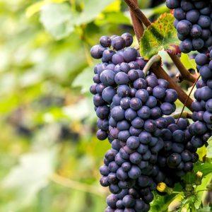 pinot noir bourgogne nederlandse wijn dutch wine