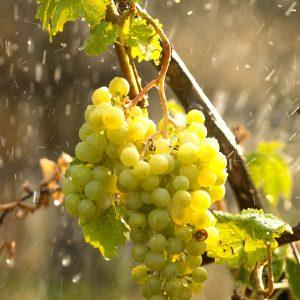 Terroir irrigatie nederlandse wijn dutch wine