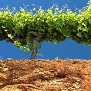Coonawarra Mekka Australië bodem nederlandse wijn dutch wine